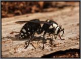 Baldfaced Hornet Queen (Dolichovespula maculata)