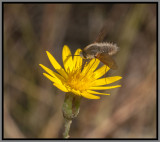 Bee Hover Fly (Systoechus sp)