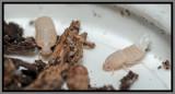 Planthopper nymph (Cixius sp.)