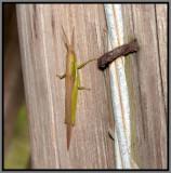 Glassy-winged Toothpick Grasshopper (Stenacris vitreipennis)