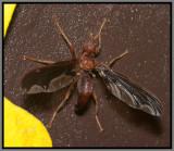 Waved Light Fly (Pyrgota undata)