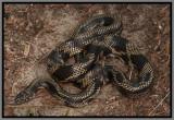 Apalachicola Kingsnake (Lampropeltis getula goini)