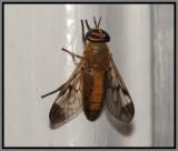 Yellow Fly (Diachlorus ferrugatus)