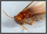 Formosan Subterranean Termite (Coptotermes formosanus)