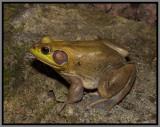 Pig Frog (Rana [Lithobates] grylio)