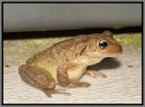 Cuban Treefrog (Osteopilus septentrionalis)