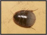 Florida Sand Cockroach (Arenivaga floridensis)