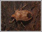 Predatory Stink Bug (Alcaeorrhynchus grandis)