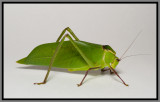 Giant Katydid (Stilpnochlora couloniana)
