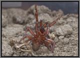 Trapdoor Spider Male (Myrmekiaphila jenkinsi)