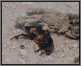 Burying Beetle (Nicrophorus carolinus)