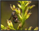 Chalcid Wasp Female (Leucospis affinis floridana)