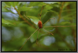 Opiliones (Harvestmen)