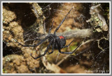 Southern Black Widow Spider (Latrodectus mactans)