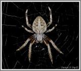 Orbweaver Spider (Neoscona crucifera)