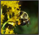 Bumble Bee (Bombus sp.)