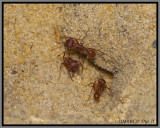 Florida Harvester (Ant Pogonomyrmex badius)