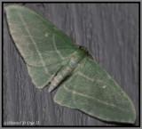 Bad-wing Moth (Dyspteris abortivaria)
