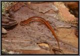 Undescribed Dwarf Salamander (Eurycea cf. quadridigitata)