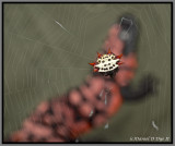 Spiny Orbweaver (Gasteracantha cancriformis)
