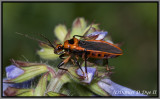Scarlet-bordered Assassin Bug (Rhiginia cruciata)