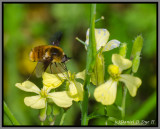 Bee Hover Fly (Systoechus sp.)