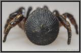 Trapdoor Spider (Cyclocosmia truncata)