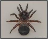 Trapdoor Spider (Cyclocosmia torreya)