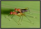 Red Stilt-Legged Fly (Grallipeza nebulas)