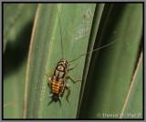 Little Gem Cockroach (Euthlastoblatta gemma)