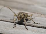 Cerambycid Beetle (Leptostylopsis terraecolor)