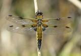 :: Dragonflies UK ::