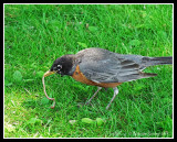 Robin With Snack