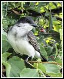 Eastern Kingbird (Juvenile)