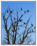 Tree with Cormorants