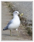 Gull With Apple