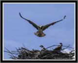 Osprey (Juv) Trial Flight