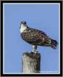 Osprey (Juv) 5 Days Out Of The Nest