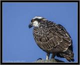 Osprey (Juv)