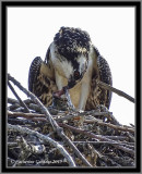 Osprey (Juv) With Lunch