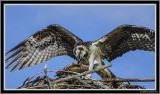 Osprey (Juv) With Fish