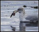 Gull With Fresh Fish Dinner