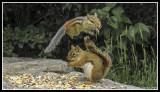 Squirrels & Chipmunks