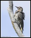 Flicker Woodpecker