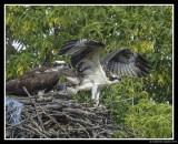 Osprey Chick Preparing For First Flight