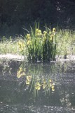 Wild Flag Irises