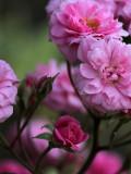 My little Tree Rose