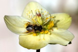 Hoverfly on Christmas rose