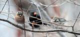 Chaffinches and Blackbird