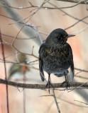 Amsel/ Common Blackbird (female)